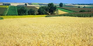 D'où vient le blé OGM découvert dans l'Oregon ? - Sciences et Avenir